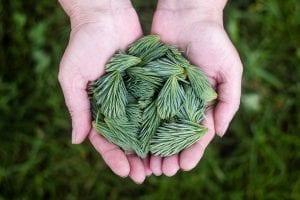 Las hojas de los pinos tienen grandes beneficios