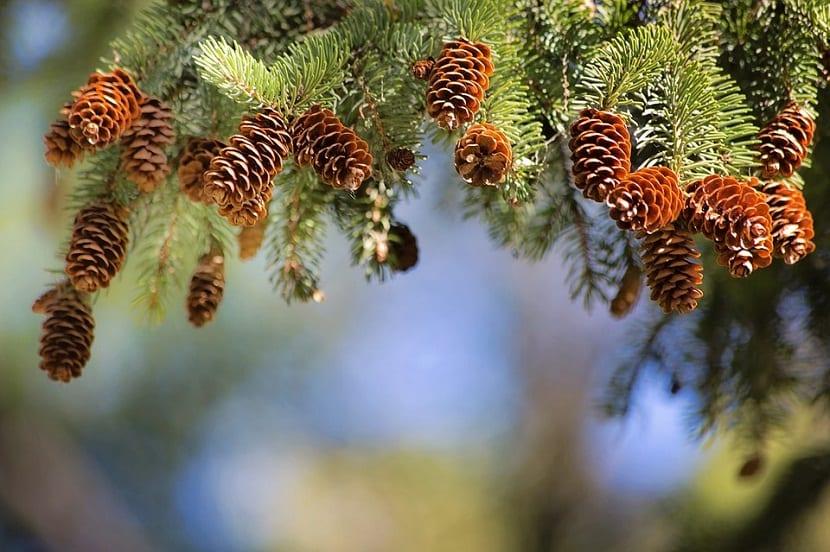Las ramas de pino sirven para ahuyentar de manera natural a una gran cantidad de insectos