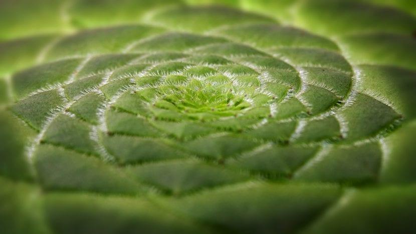 Vista de la planta Aeonium tabuliforme