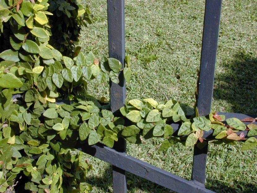 Planta de Ficus pumila