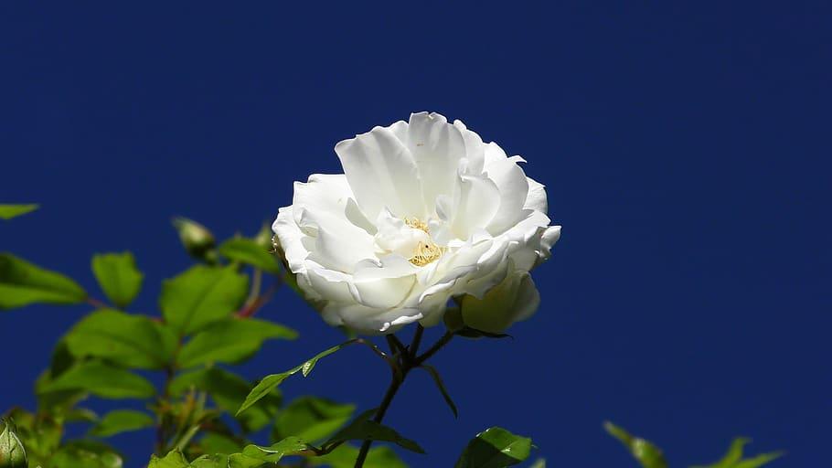 Los rosales son plantas arbustivas