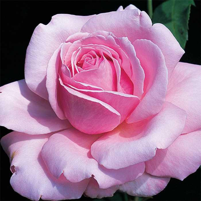 Flor de la rosa 'Memorial Day'
