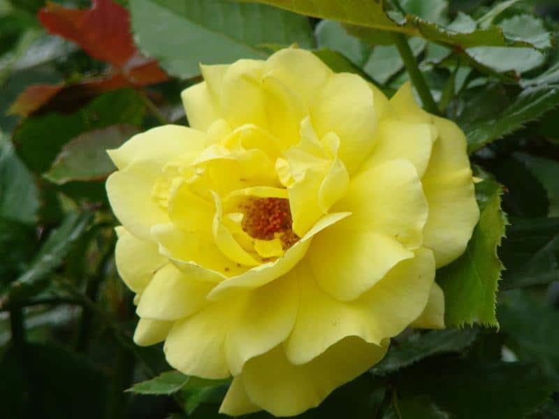 Flor de la rosa 'Sunsprite'