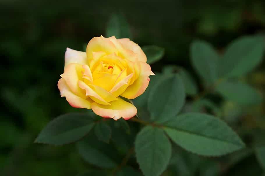 Los rosales amarillos se plantan en primavera