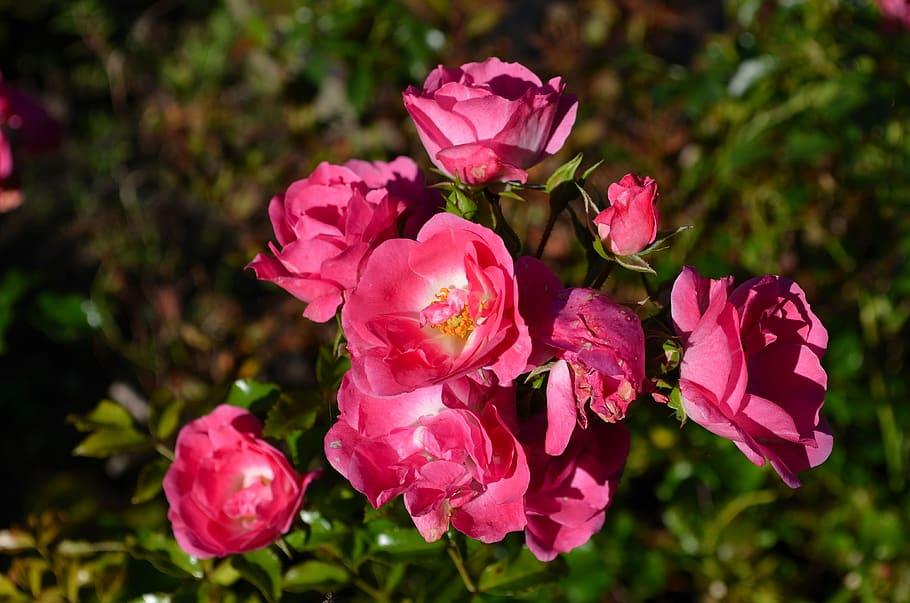 El rosal es un arbusto que florece casi todo el año