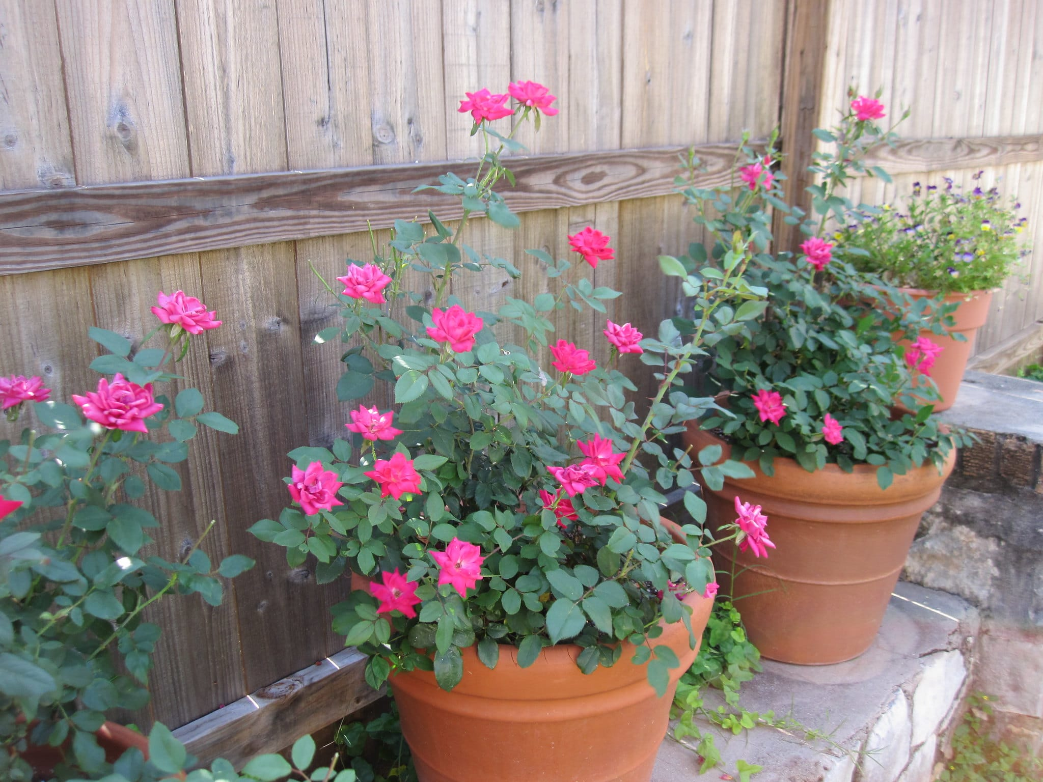 Los rosales se pueden plantar en macetas en primavera