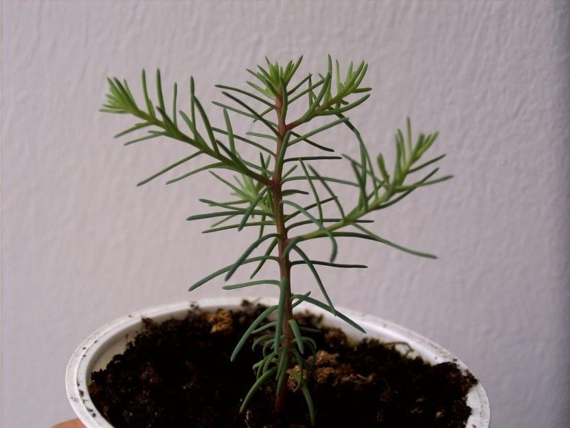 Sequoiadendron giganteum plantita