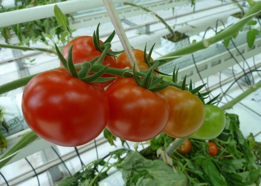 plagas y enfermedades en tomate