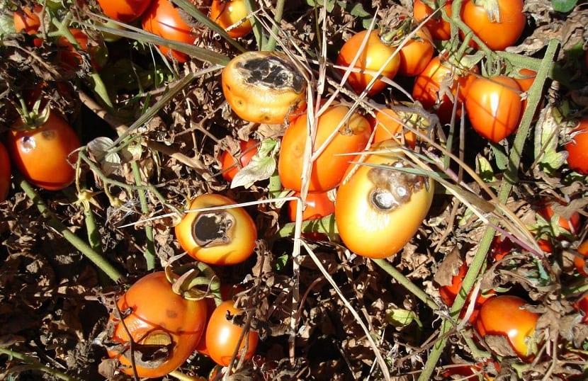 alternaria en tomates