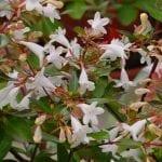 Planta de abelia en flor