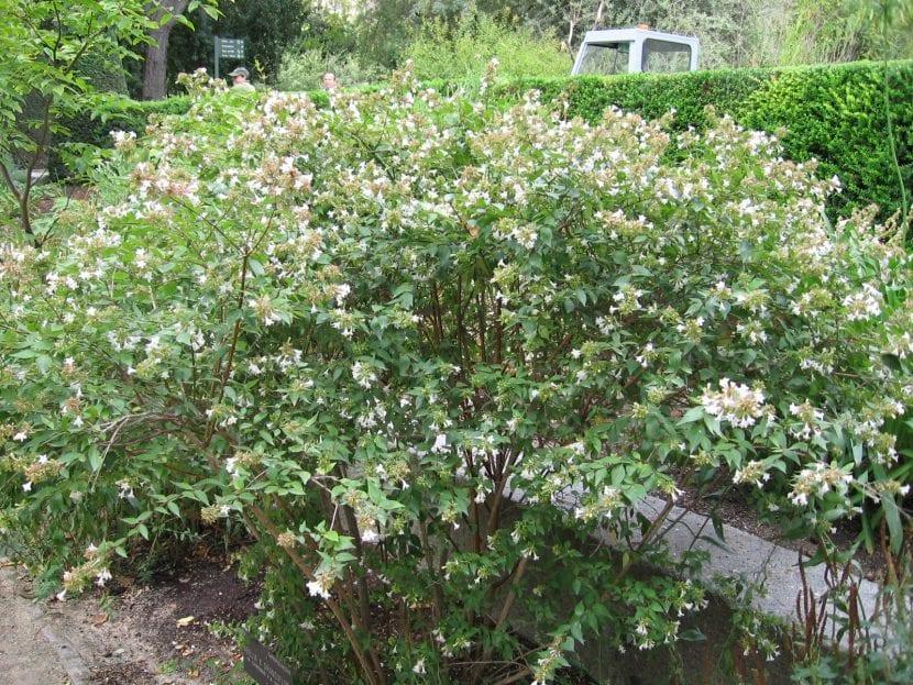 Ejemplar de Abelia x grandiflora