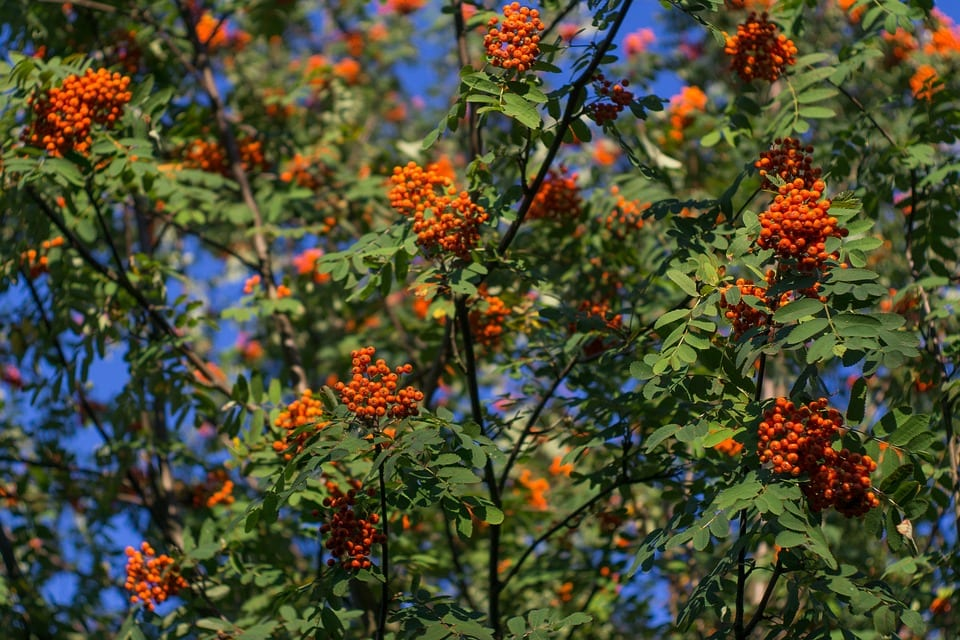Caracteristicas del Sorbus