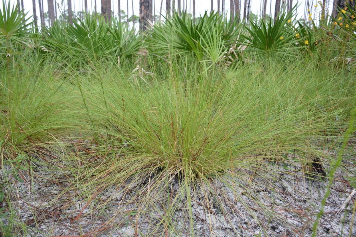 La Aristida stricta es una planta colonizadora