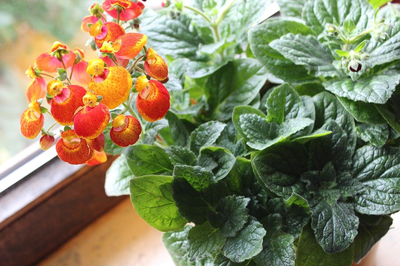 La calceolaria es una planta de temporada