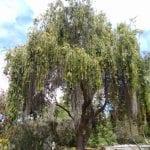 Árbol de Callistemon
