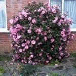 Vista de la Camellia japoniuca