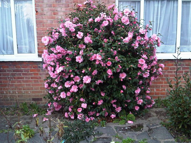 Camellia japonica en flor