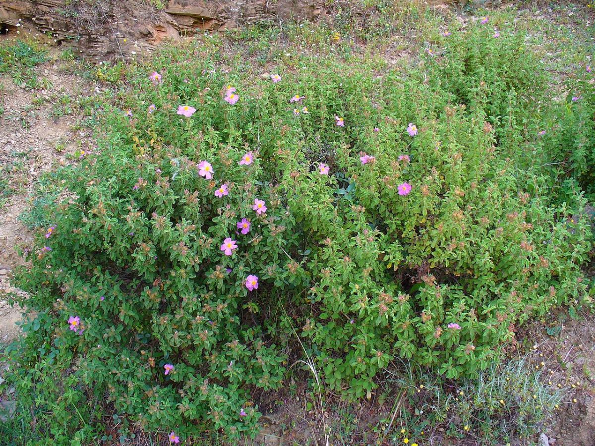 El Cistus es un arbusto perenne