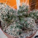 Planta de Coryphantha macromeris