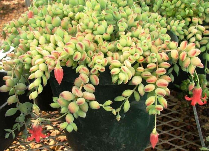 Planta colgante Cotyledon pendens