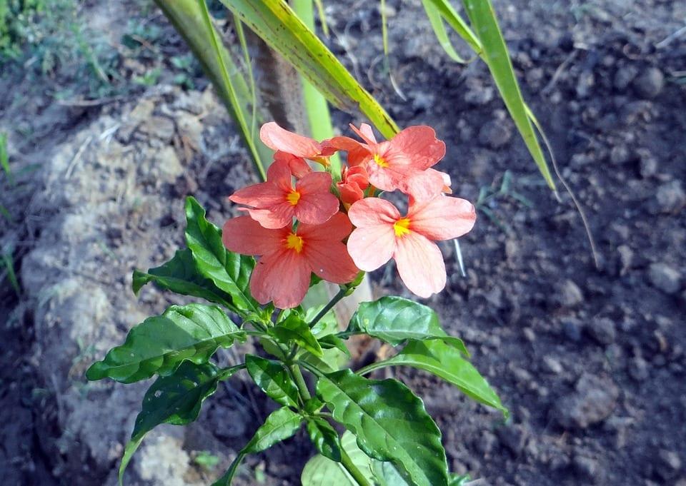 Algunas especies / variedades de la Crossandra