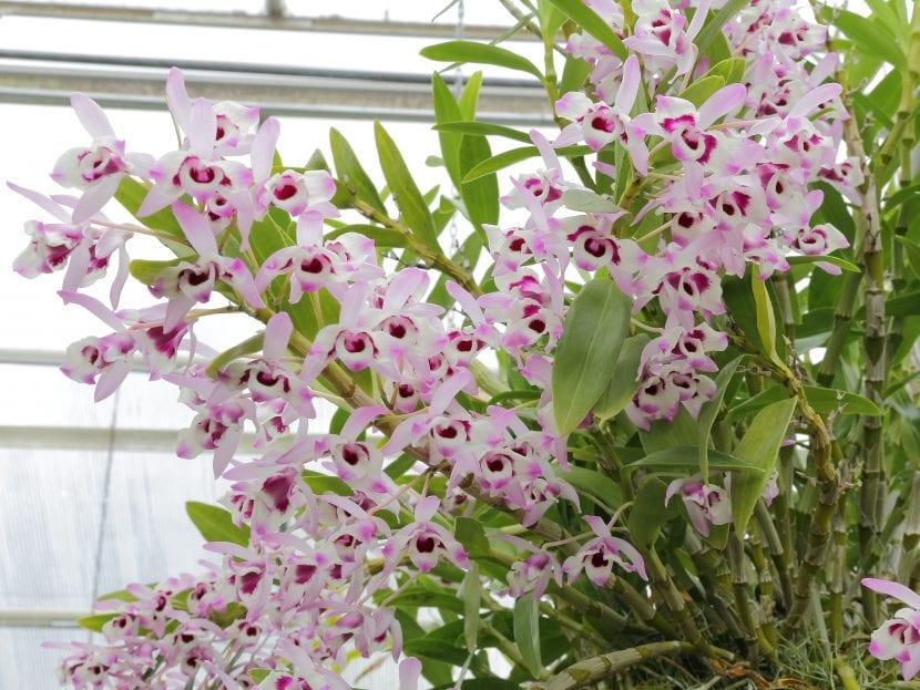 Flores de la Dendrobium nobile