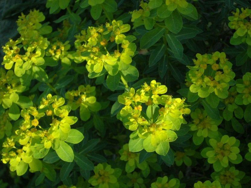 Hojas y flores de la Euphorbia hierosolymitania
