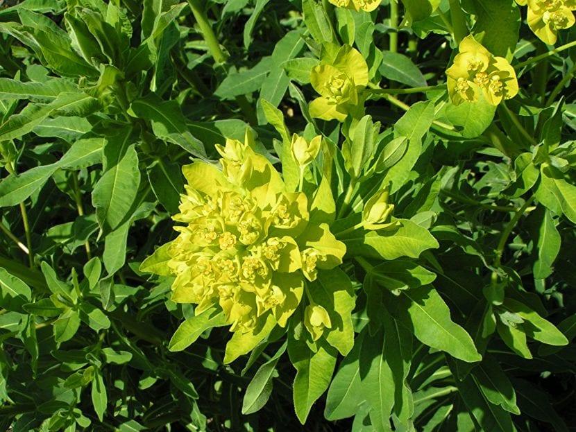 Ejemplas de Euphorbia palustris
