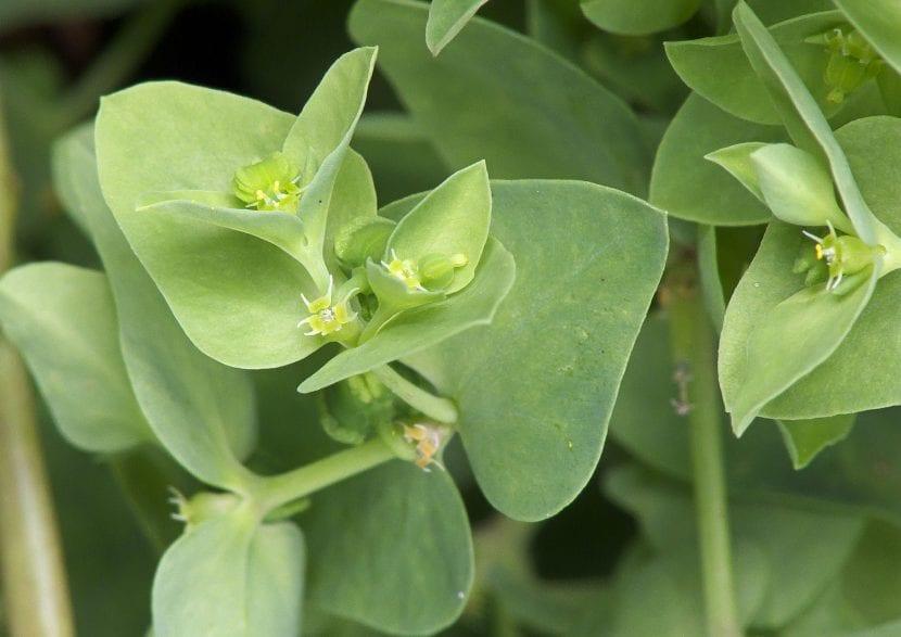 Hojas y flores de la Euphorbia peplus