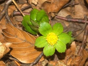 Flor de la Hacquetia apipactis