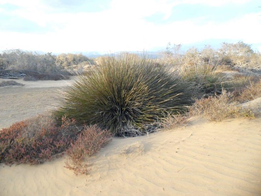 Juncus acutus, una planta muy resistente a la salinidad