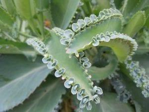 Hojas e hijuelos del Kalanchoe schizophylla