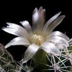Flor de Mammillaria vetula