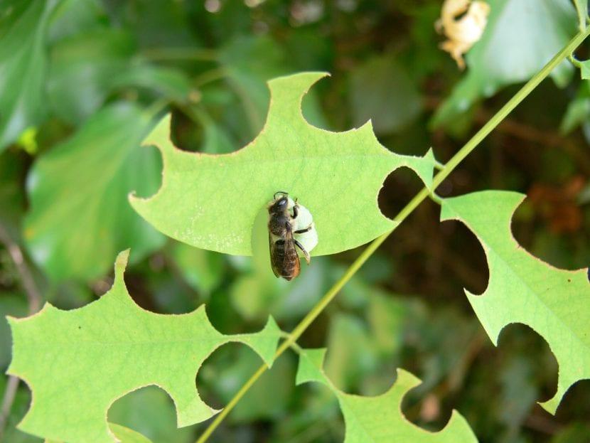 Daños causados por la abeja cortadora de hojas