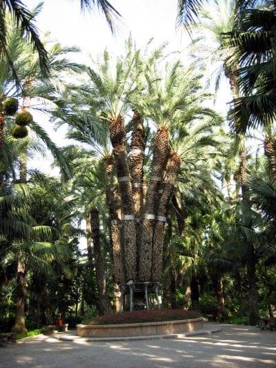 Vista de la Palmera Imperial, en el Huerto del Cura (Elche)