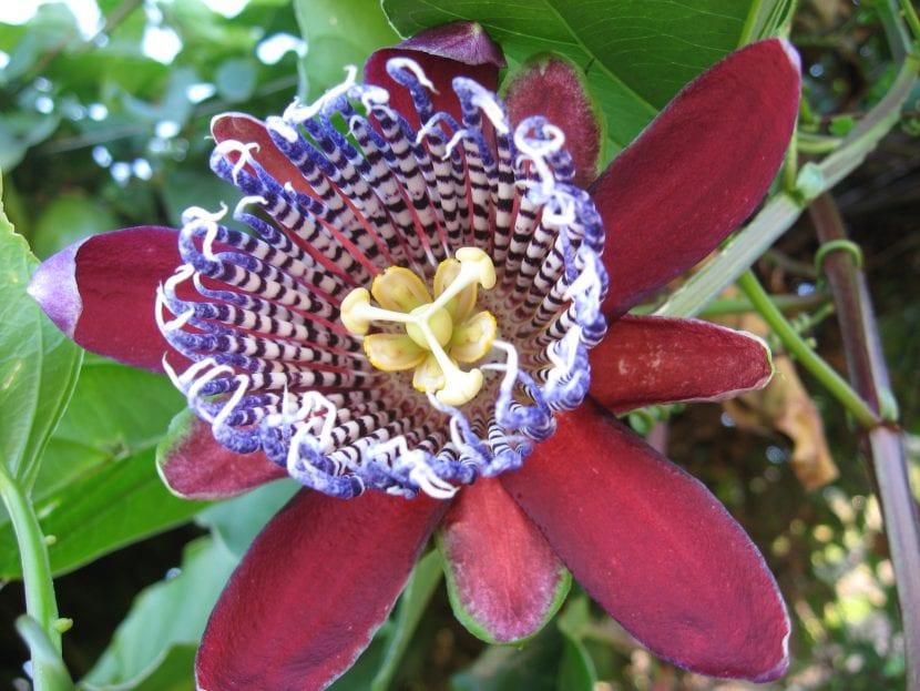 Passiflora alata, una de las especies más queridas