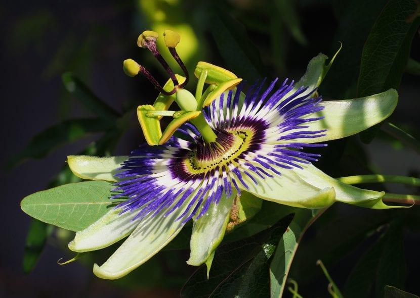 Passiflora caerulea, la especie más popular