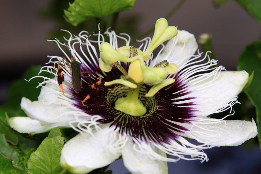 Passiflora edulis, una especie de flores muy bonitas