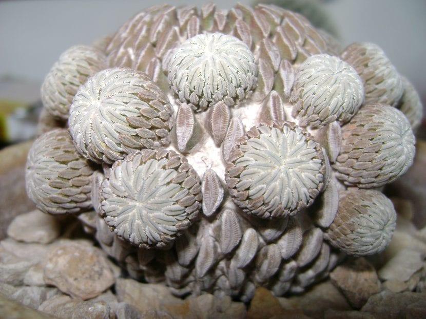 Cactus pelecyphora aselliformis