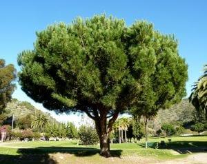 Pinus pinea tiene el origen en el mediterráneo.