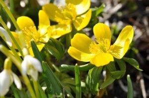 La Cincoenrama es una planta que tiene por nombre científico Potentilla fruticosa