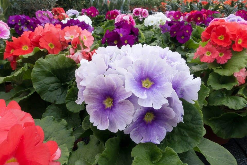 Cuidados de la Primula vulgaris