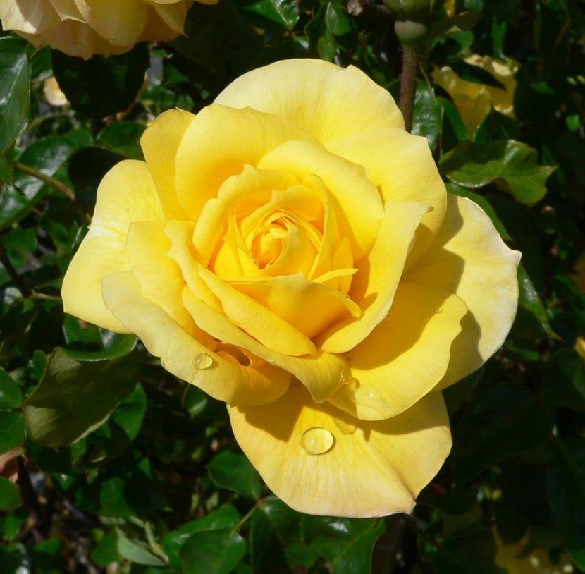 Pon a tu rosal en una exposición soleada para que florezca