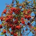 El Sorbus es una planta muy resistente