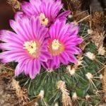 Flores de Stenocactus multicostatus