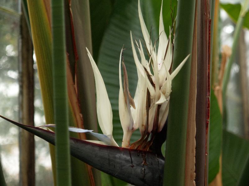 No riegues mucho a Strelitzia augusta o alba para que pueda crecer mejor
