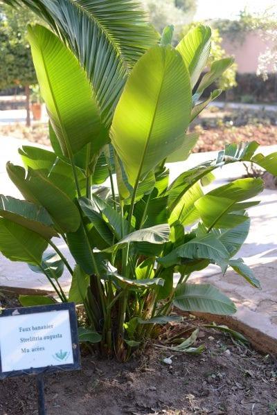 Ejemplar de Strelitzia augusta en un jardín