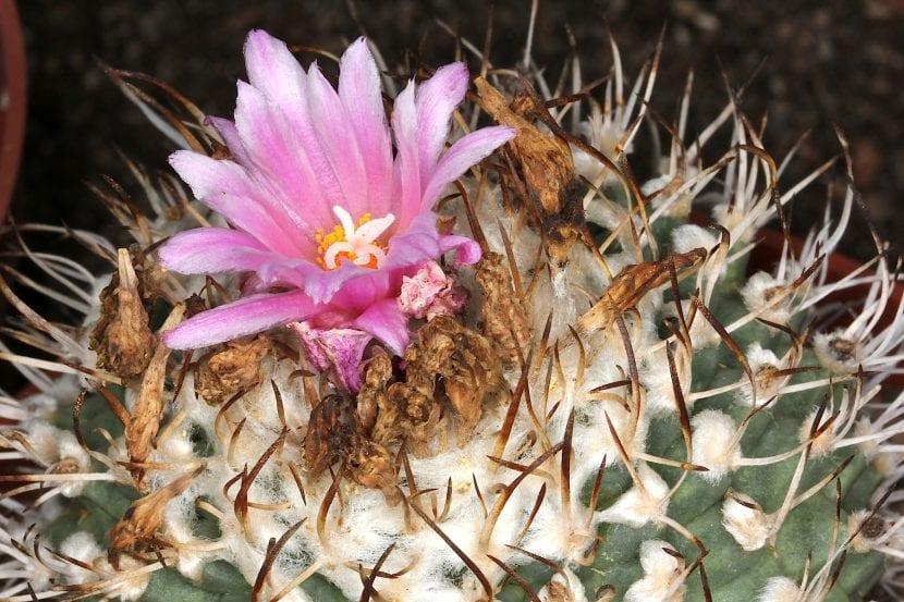Turbinicarpus alonsoi, ejemplar en flor