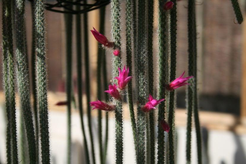 Cactus Aporocactus o cola de rata