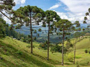 La Araucaria angustifolia es una conífera pirófila